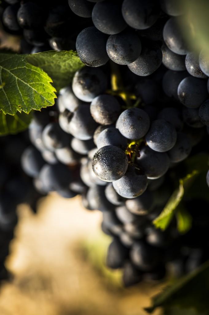 la vigne pour AOC Bordeaux rouge
